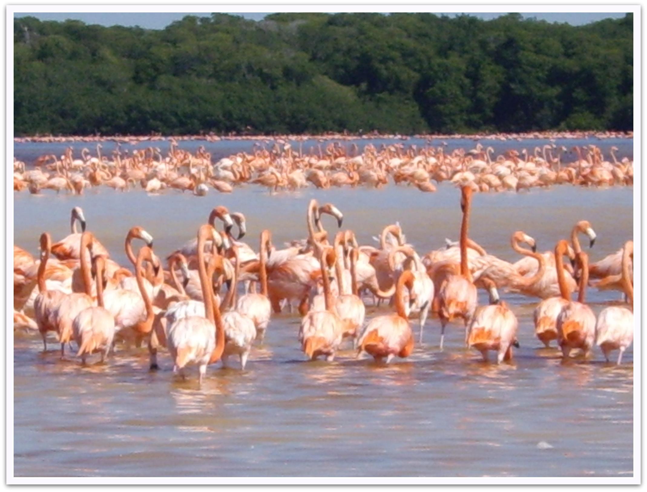 Flamingos und Mangroven in Celestún westlich von Mérida