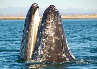 Whalewathing in Mexico